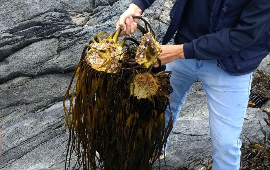 Incautación de algas pardas de origen ilegal llegó a 343 toneladas avaluadas en más de $137 millones en 2017
