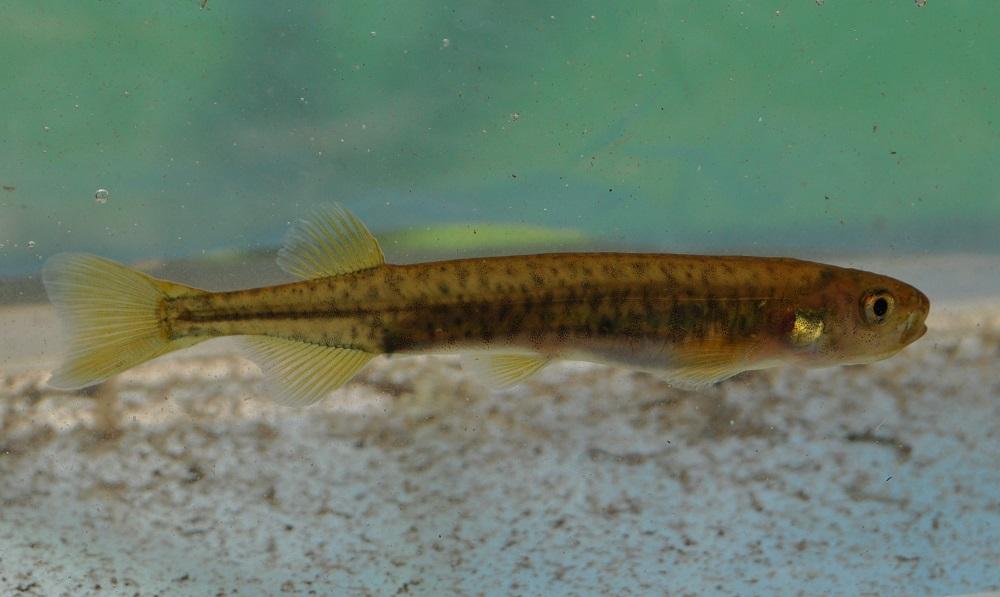 Estudio sobre pez nativo chileno destaca importancia de conectividad de sistemas de ríos para su preservación