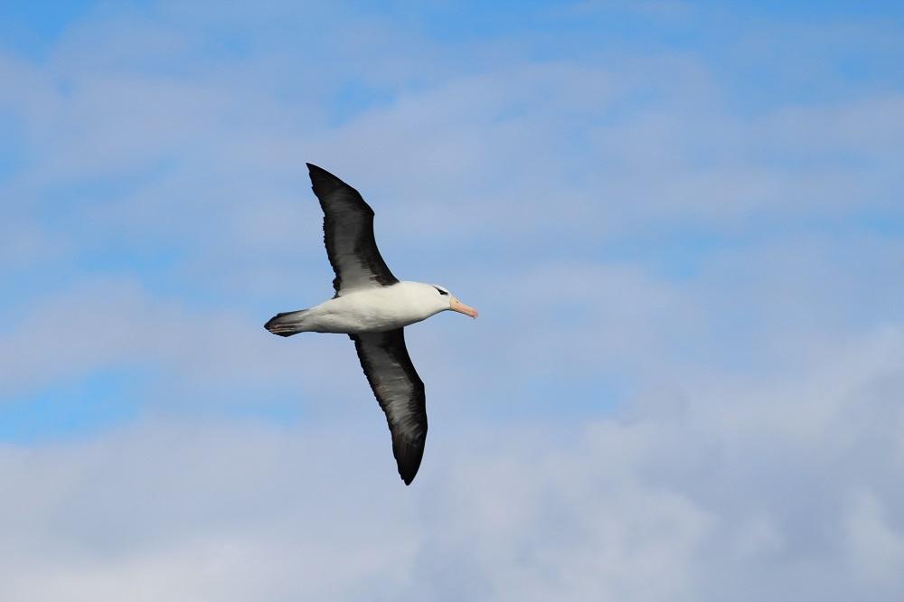 Albatros marcado en Australia en el 2009 apareció en Chile