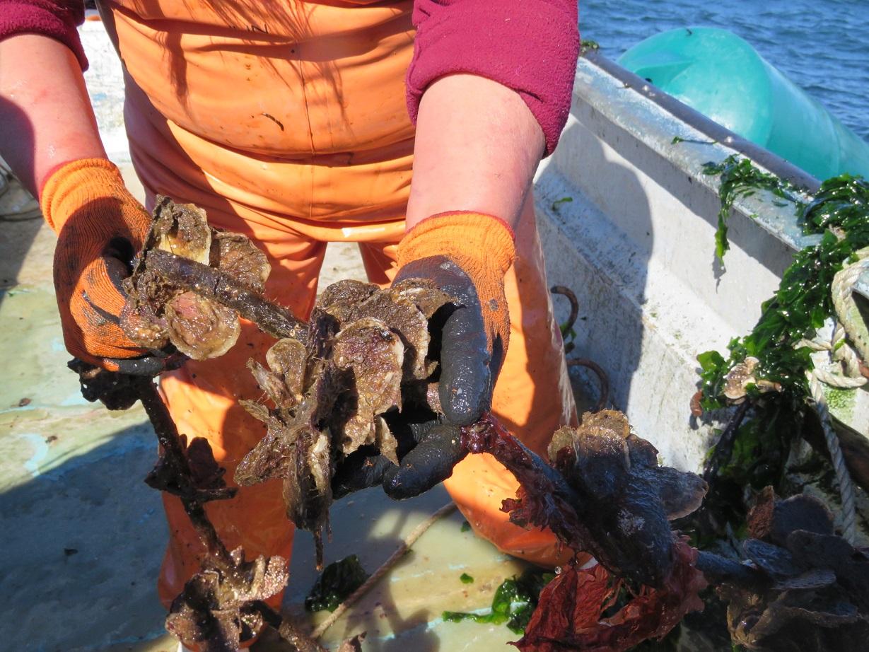 Cultivos Cholche: Pioneros en policultivos de ostras, ostiones, mitílidos y algas en el sur de Chile