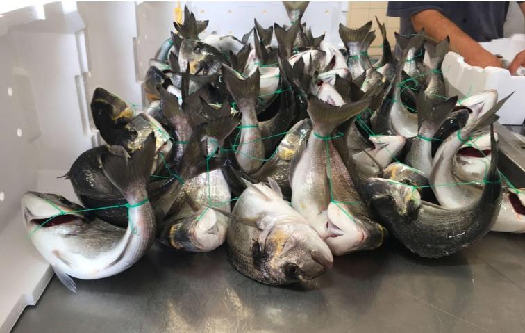 Revelan por primera vez en Europa prácticas de crueldad animal en centros de cultivo de peces