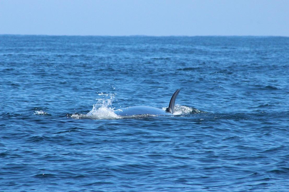 Comenzó la temporada de avistamiento de ballenas sei en Cobquecura