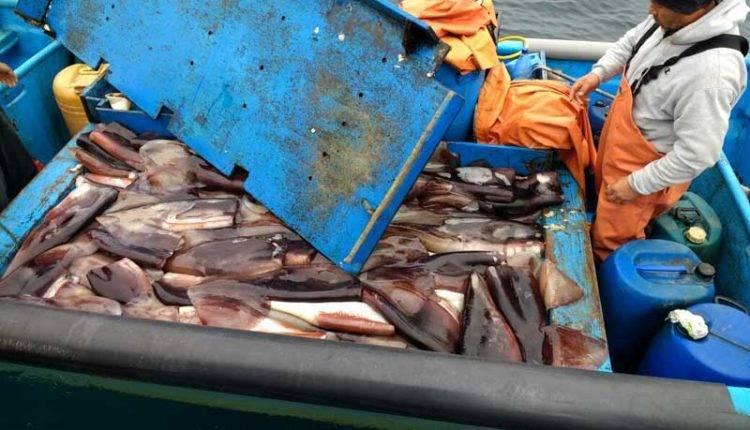 Tribunal Constitucional ratifica Ley de la Jibia ante recurso en contra presentado por pesquera
