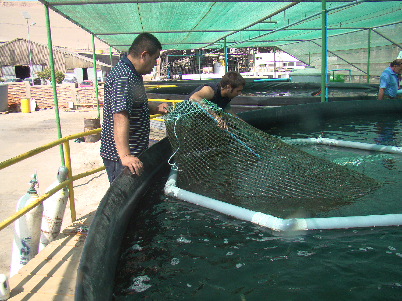 Cultivando Seriola con sistemas de recirculación a bajo costo