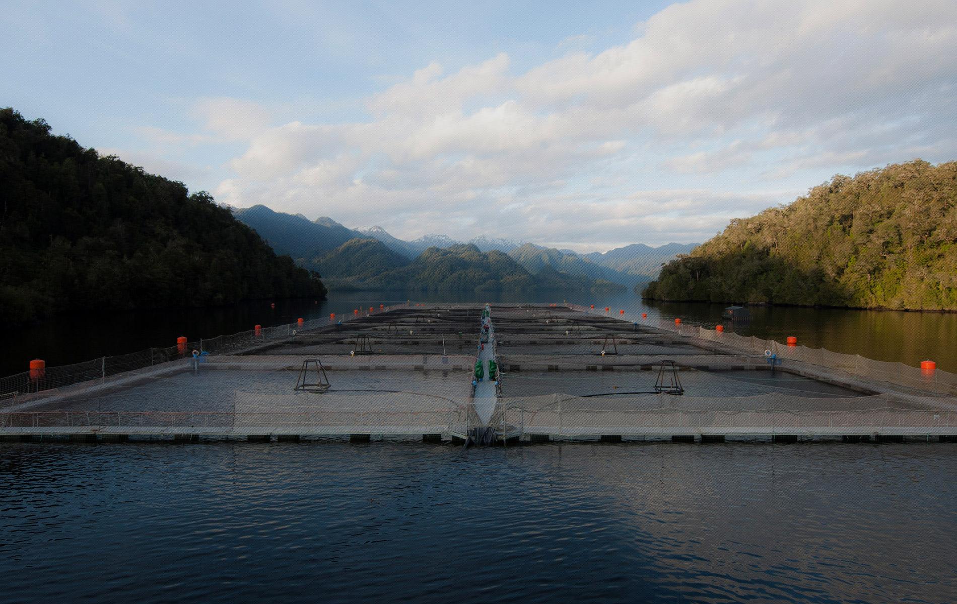 Hendrix Genetics y Salmones Aysén se asocian para mejorar la genética del salmón coho en Chile