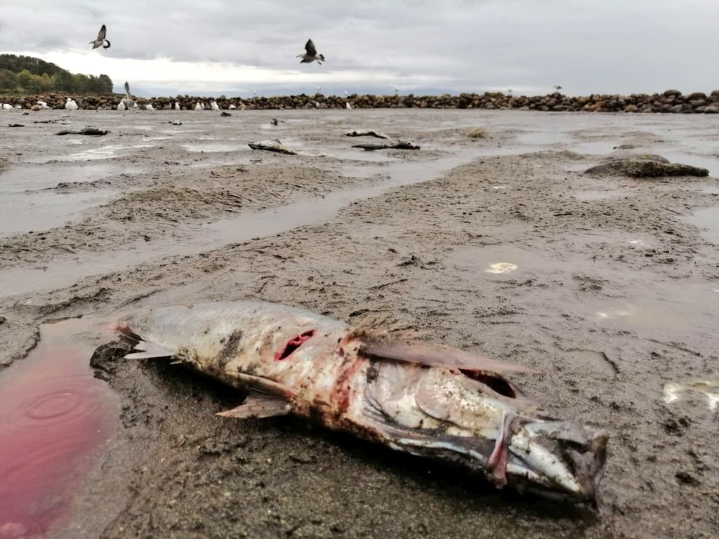 Investigan varazón masiva de jureles en isla Maillen