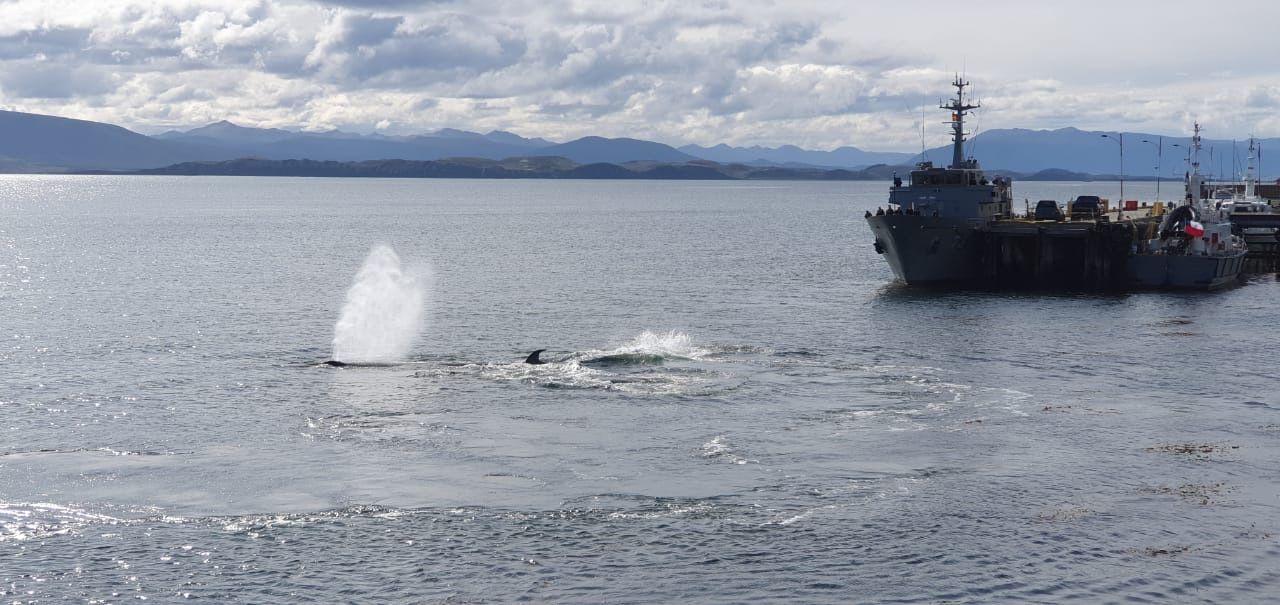 Despliegan operativo por varamiento de ballenas en Puerto Williams