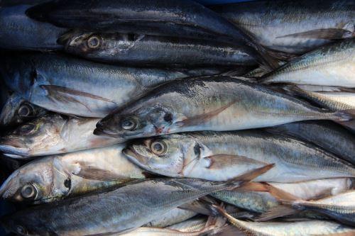 Expertos internacionales señalan que crece presencia del jurel en el mar peruano