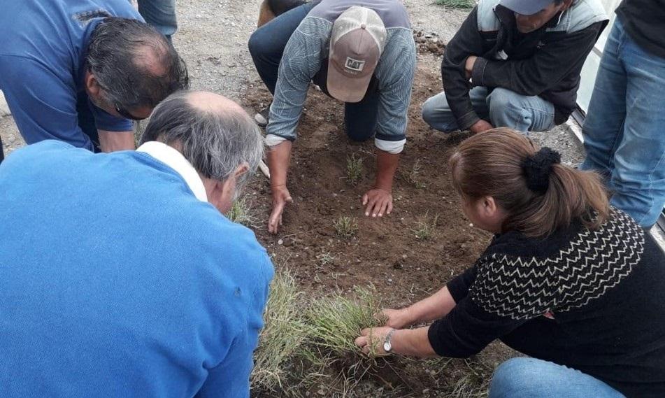 Salicornia, el alimento costero que se transforma en alternativa comercial para los pescadores de Bahía Lenca